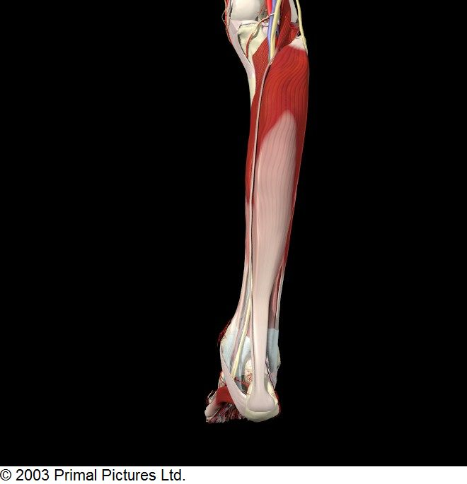 Best 25+ Calf strain ideas on Pinterest | Calf muscle ... Soleus Muscle Pain Symptoms