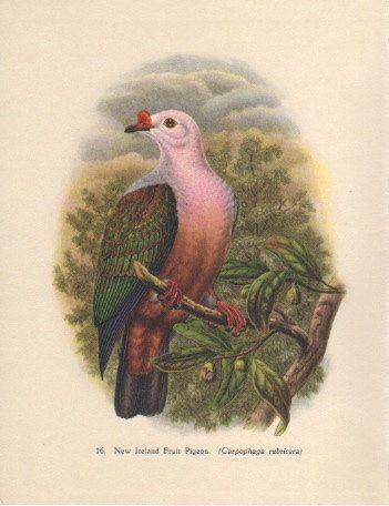 New Ireland Fruit Pigeon John Gould Bird Print by Picabosplace