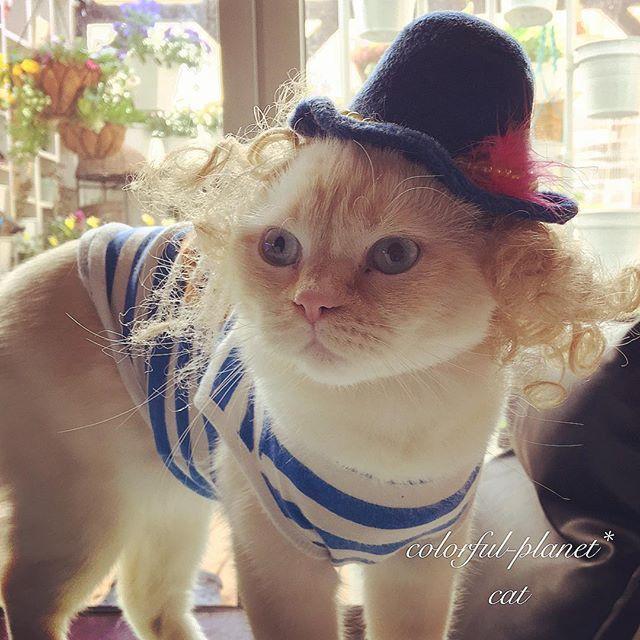 先輩ネコのお下がりハット🎩 * 先輩ネコはちょうど良かった🎩なのにウィルは顔が大きいのか、まだ0歳(来月1歳)なのにもう小さい😂 * #エキゾチックショートヘア#exoticshorthair#子猫#猫#ネコ#cat#kitty #キティ#ラブリー#lovely#愛猫#カツラ猫#被り物#🐈#🎩#wig#wigcat