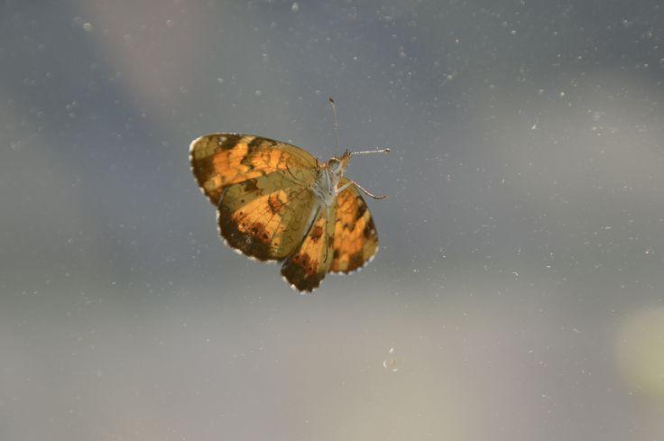 Northern Crescent - Phyciodes cocyta