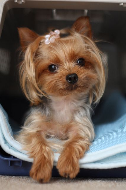 #Yorkie #Yorkshire #Terrier #Dog #Puppy