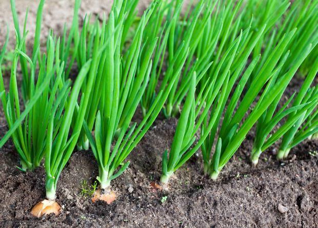Хочу рассказать о том, как я выращиваю лук. А он у меня удается на славу.  Лук я выращиваю и из семян, и из чернушки. Чернушку сею как можно раньше, иногда еще с поздней осени (в этом году посадила …