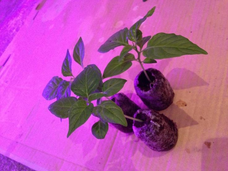 Naga Morich Chilli Plants