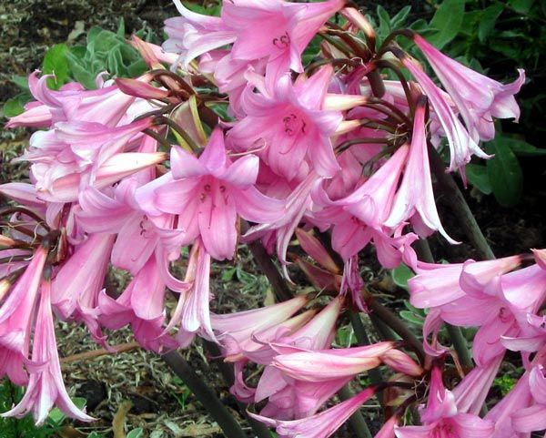 Grew Up Smelling The Sweet Nectar Of Pink Ladies Or Nerines