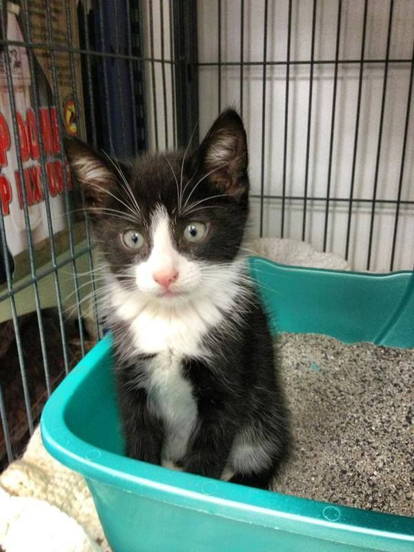 Available For Adoption Dugan Is A Male Cat Domestic Short Hair Located At Ca Adoption Available Ca Cat Domestic Domestic Short Hair Cats