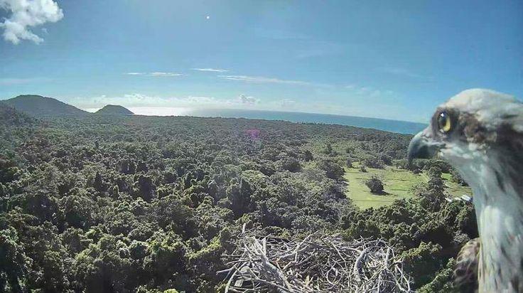Bird's eye view: an Osprey and nest at JCU's Daintree Rainforest Observatory caught on camera