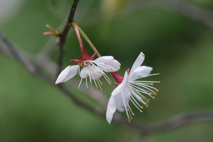 06. 02. Prunus nigra Aiton, Cerisier noir, Prunier sauvage, Canada plum.