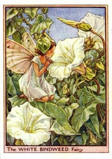 White Bindweed Flower Fairy