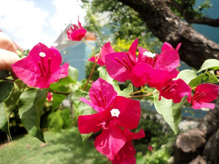 Santa Rita (Bougainvillea spectabilis)