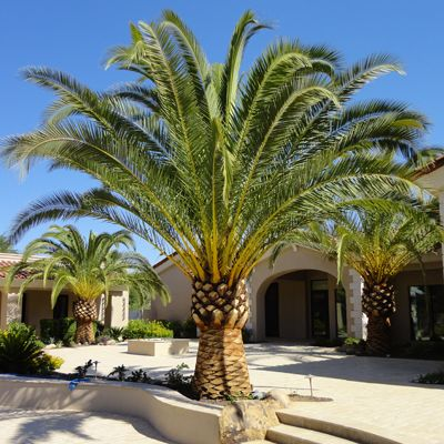 Idea for our Landscaping: Date Palm Tree/Pineapple Palm Style...backyard back left corner