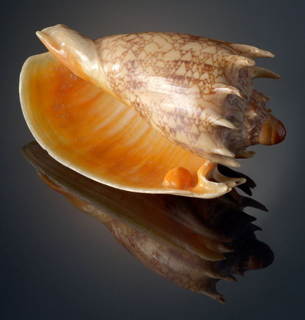 Cymbiola imperialis shell with natural pearl Philippines © Christian Creutz, photographer