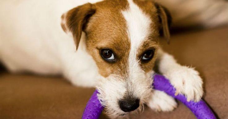 Quem tem cachorro de estimação em casa, provavelmente já passou pela situação de o bicho fazer xixi no lugar errado. Como o cheiro é forte e, dependendo do tamanho do animal, a quantidade é volumosa, pode ser difícil tirar o odor de tapetes, sofás, colch&
