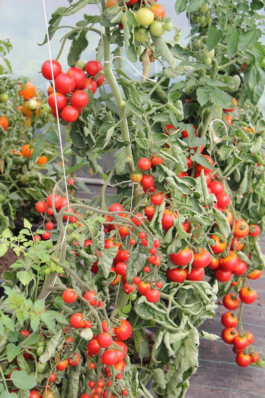 die besten 17 ideen zu tomaten z chten auf pinterest. Black Bedroom Furniture Sets. Home Design Ideas