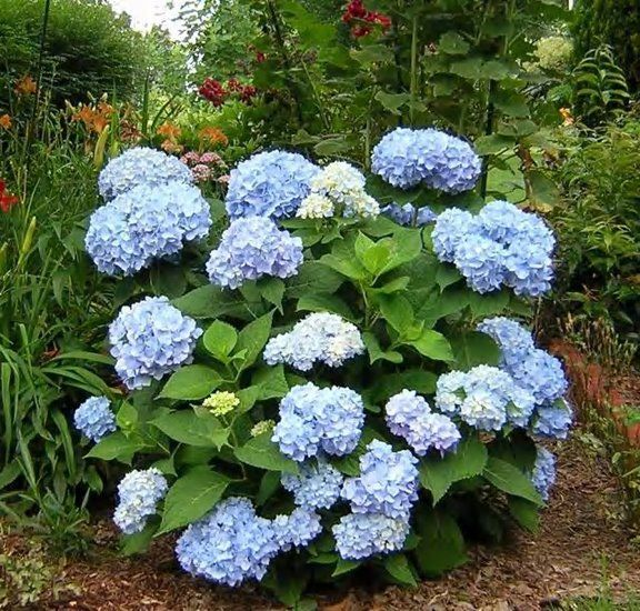 Perfect for bouquets - the simple hydrangea