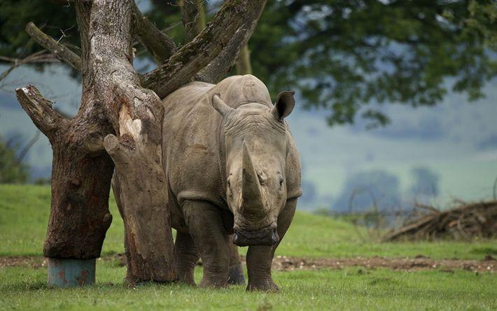 Hämta bilder noshörningar, zoo, Afrika, vilda djur, stora djur