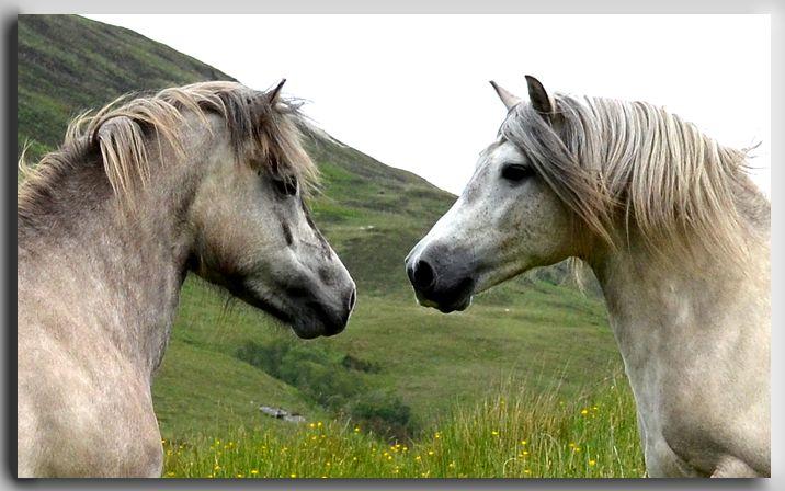 Highland ponies for sale- U.K Breeder in scotland offering ...