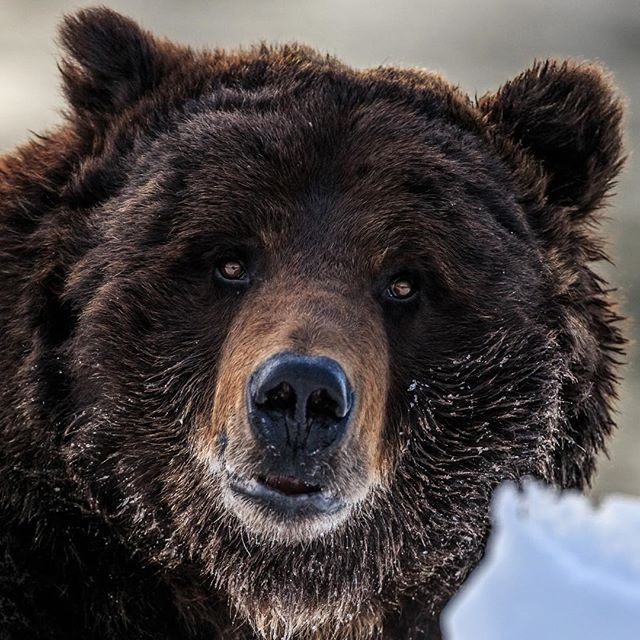 Bearzilla again. This series of images was from my first encounter with  this giant Yellowstone grizzly bear. I was driving slowly alo… | Grizzly  bear, Bear, Grizzly
