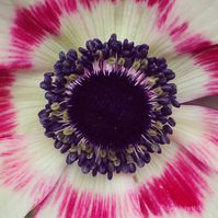 Pink Anemone Photo