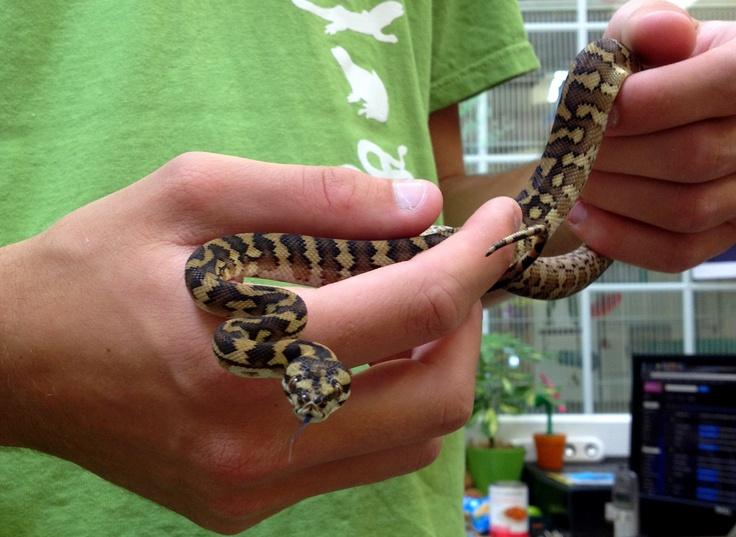 Irian jaya? Yes please...Northampton Reptiles, Reptiles Boards, Largest Reptiles, Reptiles Centre