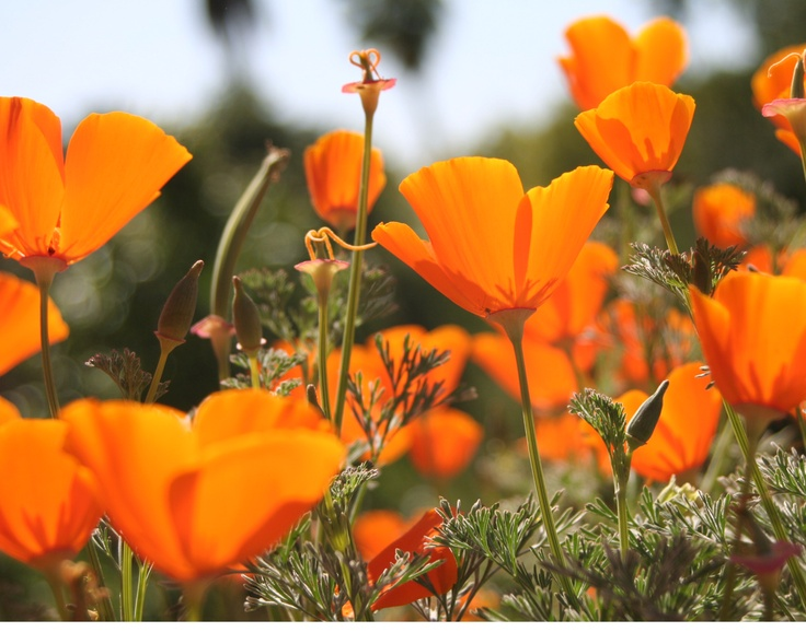 Poppies growing nearby in Pasadena