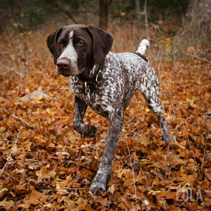 www.pinterest.com/1895gunner/ | The German Pointer. This highly trainable breed is an ideal working dog or family pet, they are a manageable size, and so cute to look at.