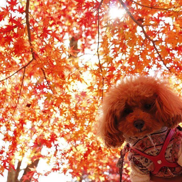 らっちゃんも、もみじ色🍁 🐾 📸2017.11.19 🐾 #最上山公園#もみじ山#最上山公園もみじ山#最上山公園もみじ祭り#ハイカラ通りフェスタ#紅葉#トイプードル#トイプードル#いぬ#といぷー#愛犬#いぬ部#カメラ女子#lovehyogo#todayswanko#toypoodle#west_dog_japan#inulog#モフモフ部#可愛い犬#パケわんグランプリ#贅沢マスク#らっちゃんとお出掛け