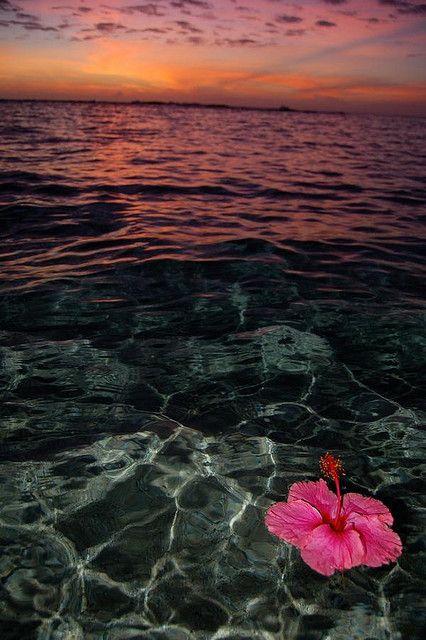 Hibiscus, Kauai Hawaii