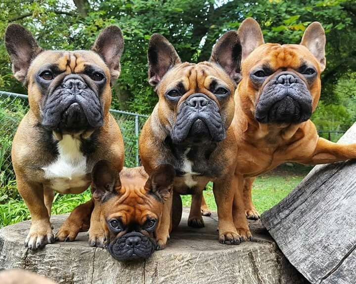 French Bulldogs Buldog French Bulldog Puppies French Bulldog