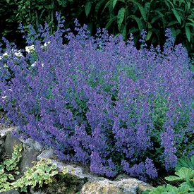 Catmint blue carpet nepeta nervosa perennial ground cover 10 full sun blooms all summer - Plants that dont need soil natures wonders ...
