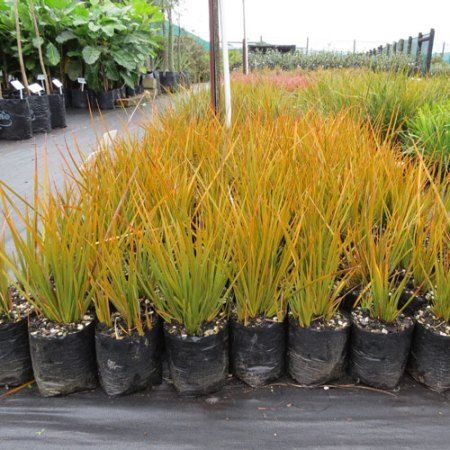 Libertia Peregrinans New Zealand Iris - Awa Nursery
