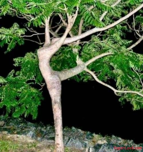 Dancing Lady Tree