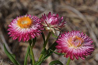 Xerochrysum bracteatum, Flor-de-palha, Flor-de-papel, Imortal