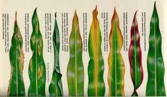Carencias de nutrientes minerales en plantas.