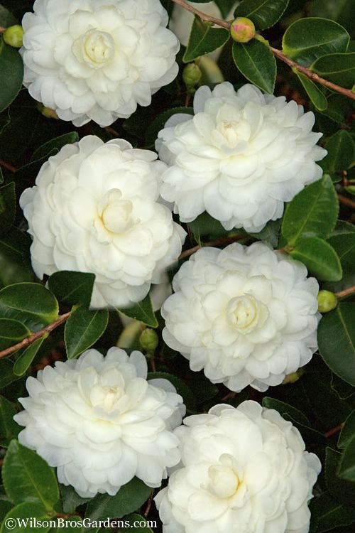 Buy October Magic White Shishi Gashira Dwarf Camellia Free Shipping 3 Gallon Size Plants For Sale From Wilson Bros Gardens Onlin In 2020 Plant Sale Camellia Plants