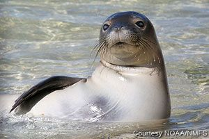 the beautiful monk seal