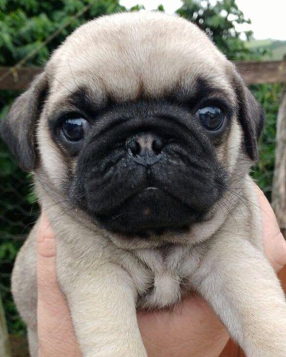 Baby Todinho Pug Puppy Dog Pug Puppy Puglife Pugloversclub