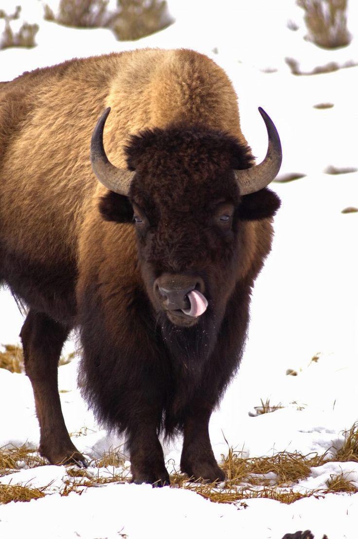 Yellowstone Womens Vacation; Yellowstone National Park Winter Tour | Wildlife Viewing