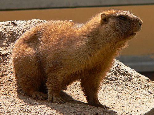 Romania - Marmota bobak