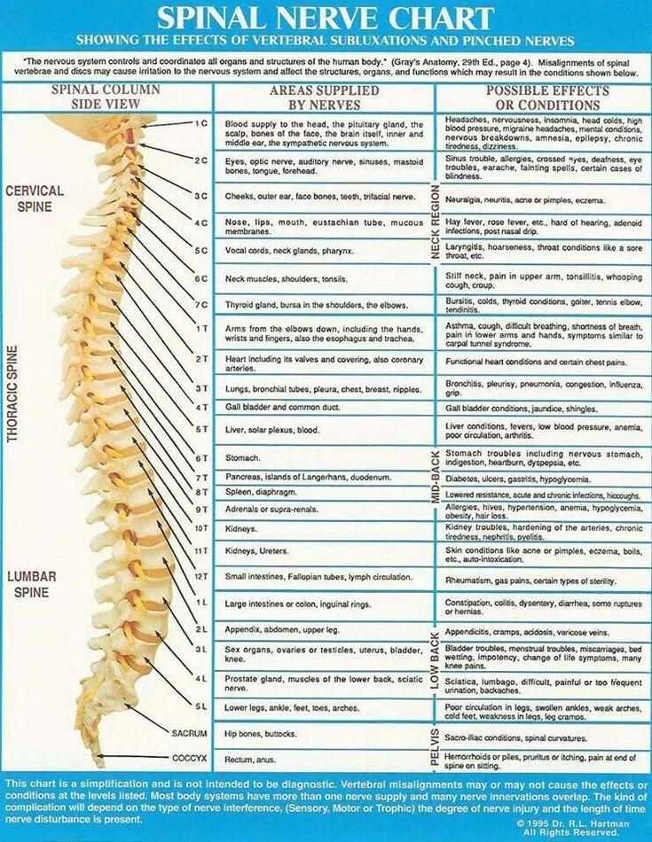 Spinal nerve chart