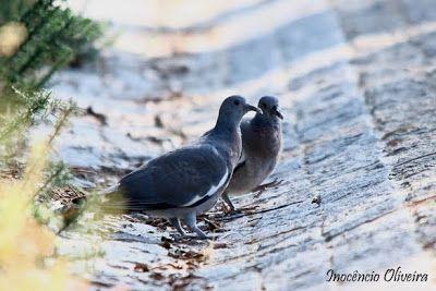 Parque de Avioso: Pombo-torcaz / Woodpigeon / Columba palumbus