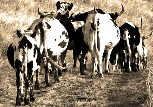 Nguni Homeward Bound