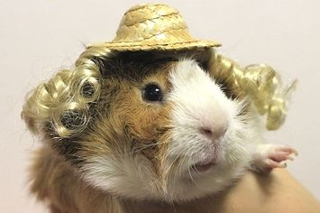 """""""Where Is My Guinea"""" Is Your New Favorite Guinea Pig On Twitter"""