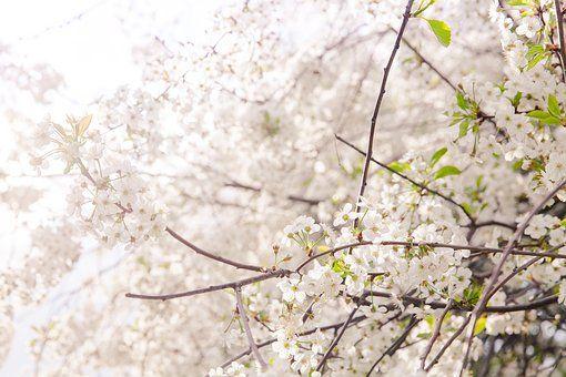 Sakura: Cherry Blossom in Japan