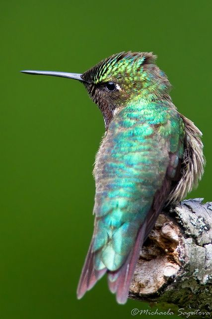 Beautiful Hummingbird sitting on a tree looking to see if another hummingbird is near bye.