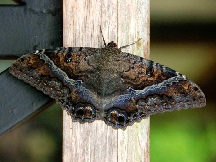 Black Witch Moth   Oh That I Had Wings...   Pinterest