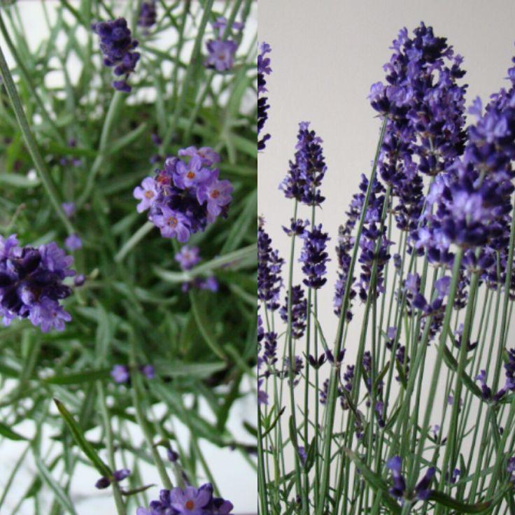 I love Lavender.