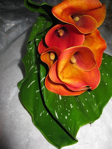 Calla Lily Meaning - Elegant Lily Flowers