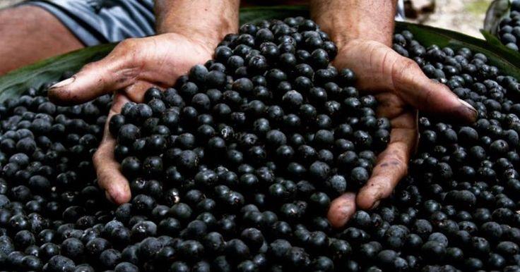 """Tal vez creas que estás viendo un montón de aceitunas negras pero en realidad estos pequeños frutos redondos de color morado son los prodigiosos frutos de Azaí también conocidos como manaca.  Este fruto proviene de la palmera de azaí y aunque originalmente es de origen brasileño se puede encontrar en Venezuela.  El fruto de Azaí es parte de #LaBiodiversidadQueSeCome y puede consumirse en bebidas dulces mermeladas ensaladas y helados. Además es considerado como una """"súper fruta"""" ya que…"""