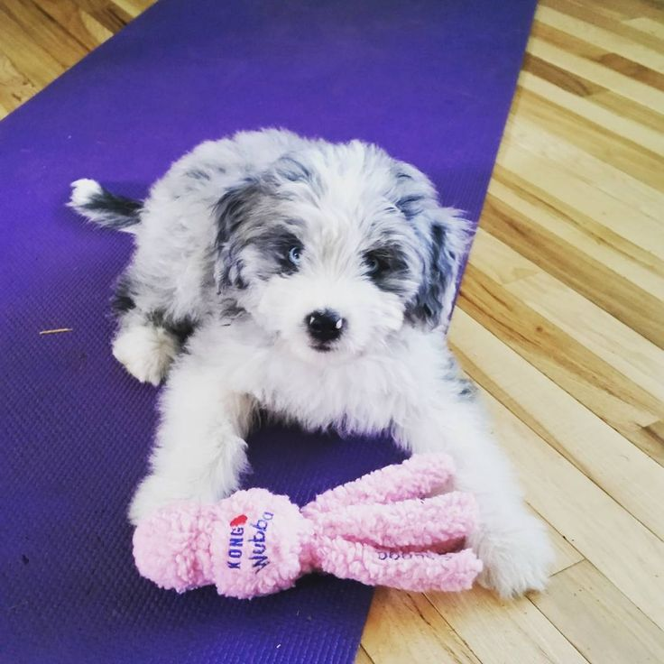 1000  images about aussiedoodles on pinterest