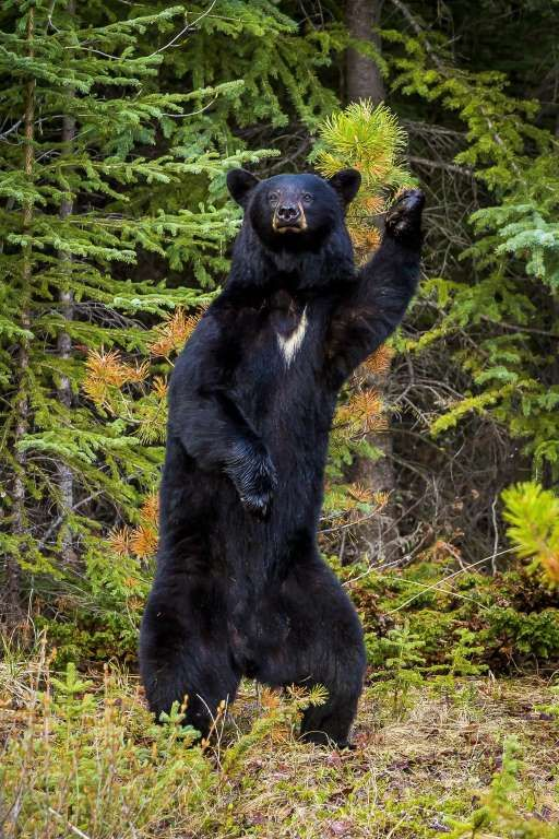 Finalist: An American black bear reaches back to rub his back against a small tree in Redwood Meadow... - Chris Martin/CWPA/Barcroft Images